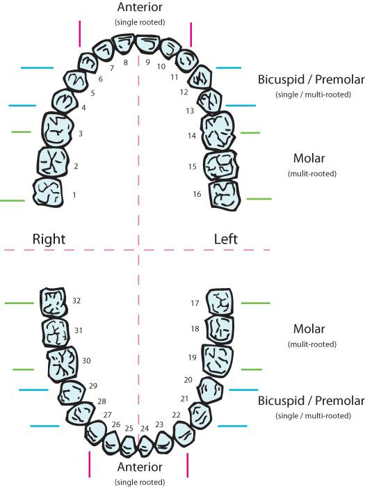 teeth numbers